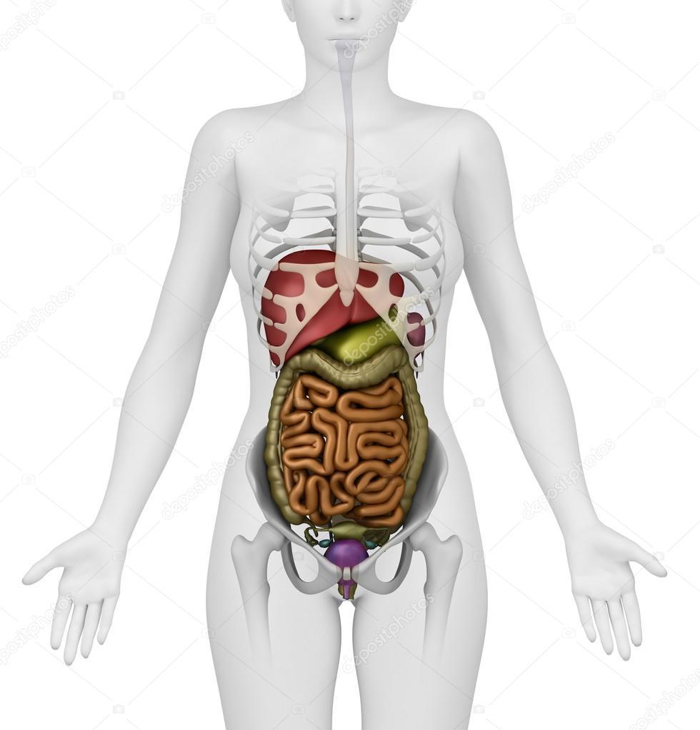 órganos abdominales femeninos - vista anterior — Foto de stock ...