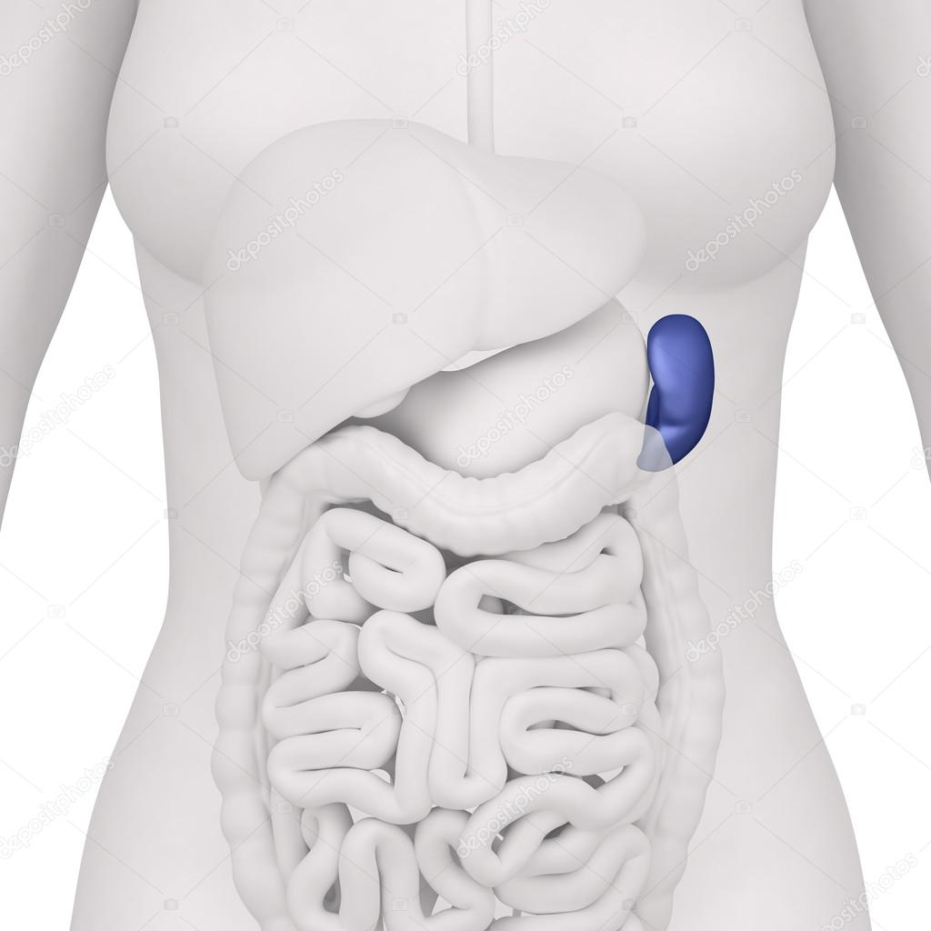 Female Spleen And Abdominal Organs Anterior View Stock Photo