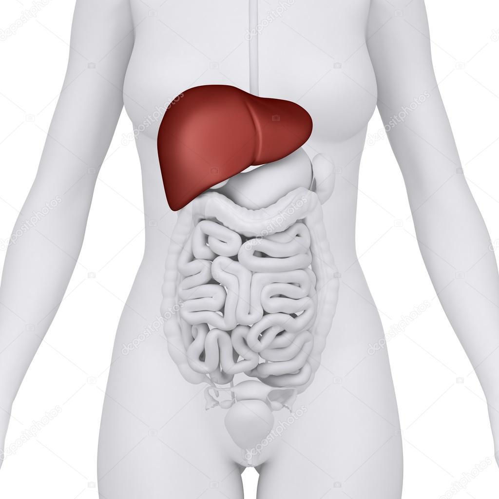 órgano femenino del hígado - vista anterior — Foto de stock ...