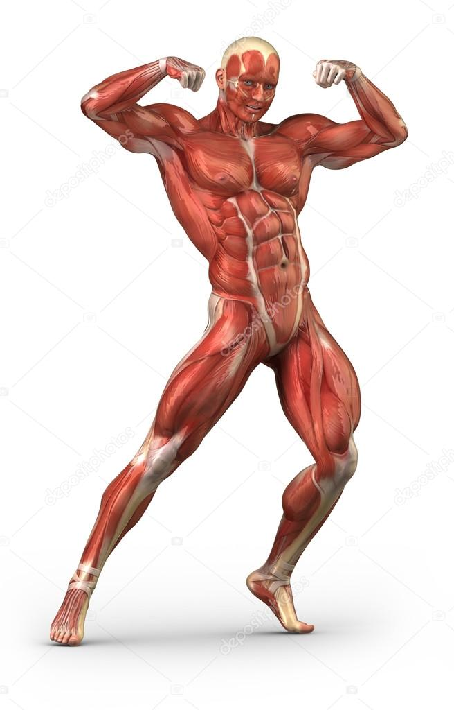 man muscular system anterior view in body-builder position — stock, Muscles