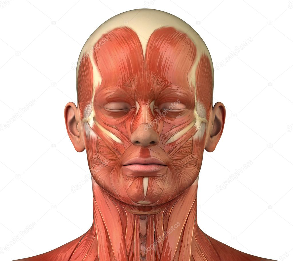 Facial muscular system anatomy front anterior view — Stock Photo ...