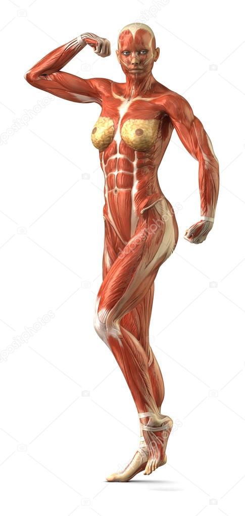 Female Anterior Muscular Sytem Anatomy In Body Builder Pose Stock