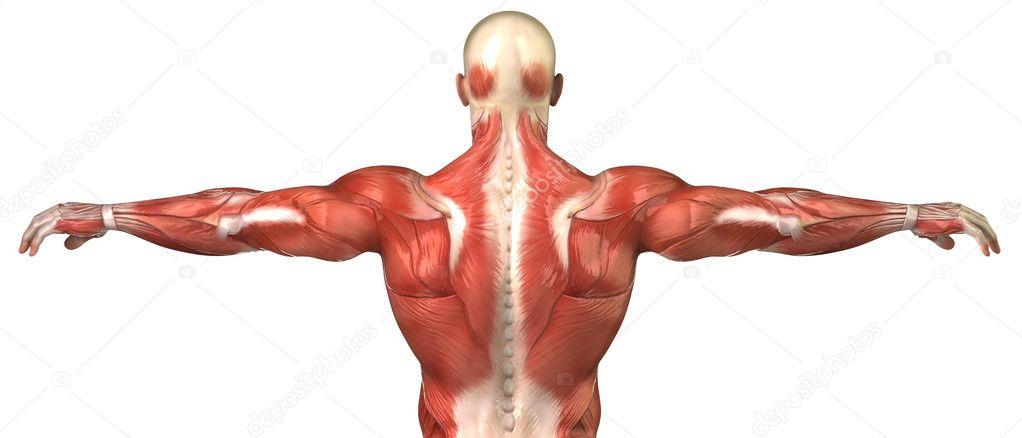 Anatomía del sistema muscular volver masculino en pose ...