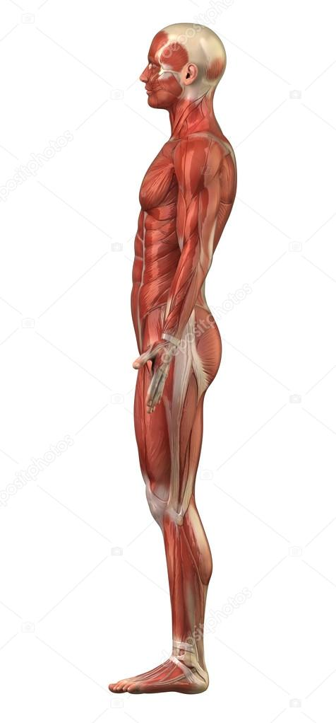Anatomy of man muscular system - lateral view — Stock Photo ...