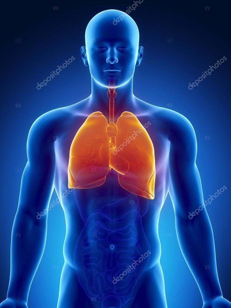 órganos del tórax humano con los pulmones y el corazón — Fotos de ...