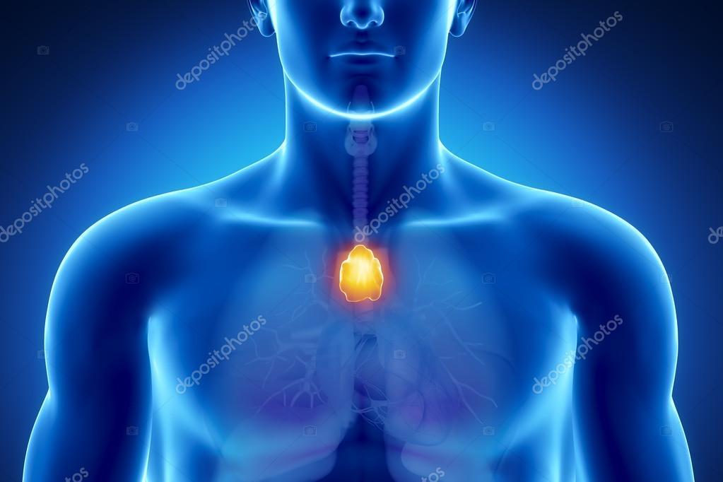 Male thymus anatomy — Stock Photo © CLIPAREA #13281369