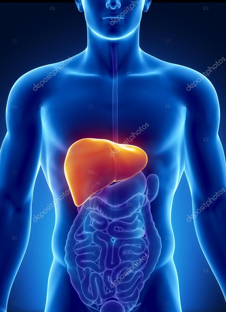 Male liver anatomy with digestive organs — Stock Photo © CLIPAREA ...