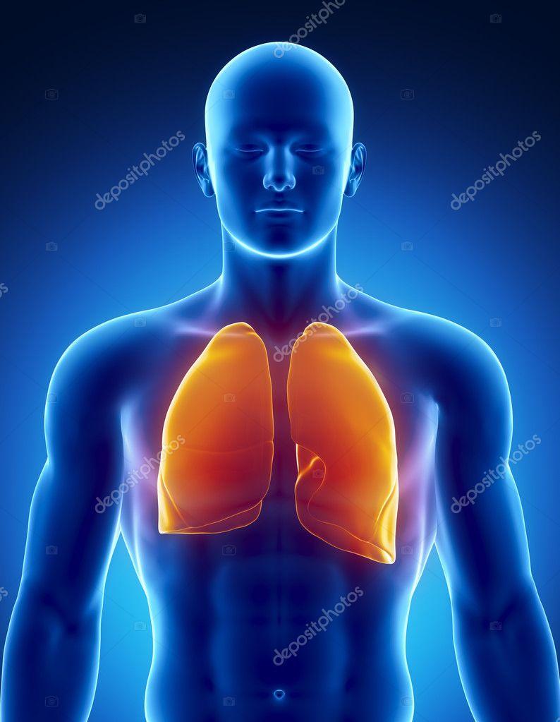 menschlichen Atemwege mit Lungen — Stockfoto © CLIPAREA #13281444