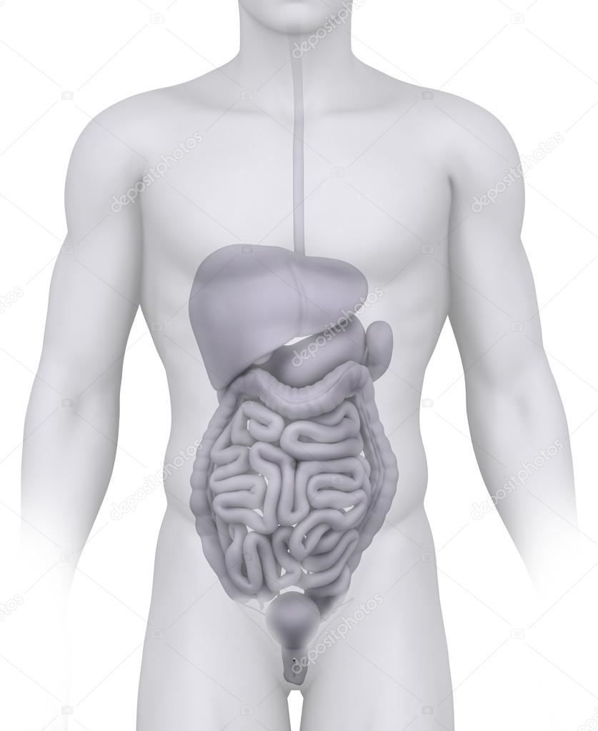 Male abdominal organs anatomy illustration on white — Stock Photo ...