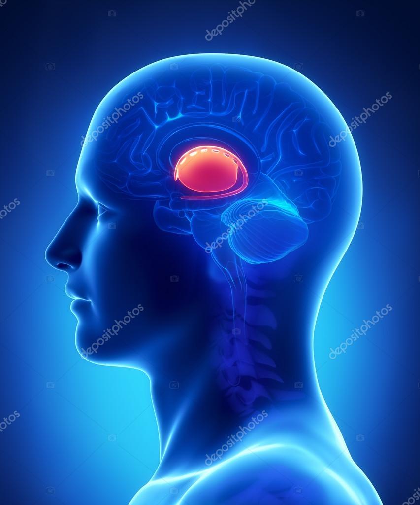 Gehirn Basalganglien Anatomie - Querschnitt — Stockfoto © CLIPAREA ...