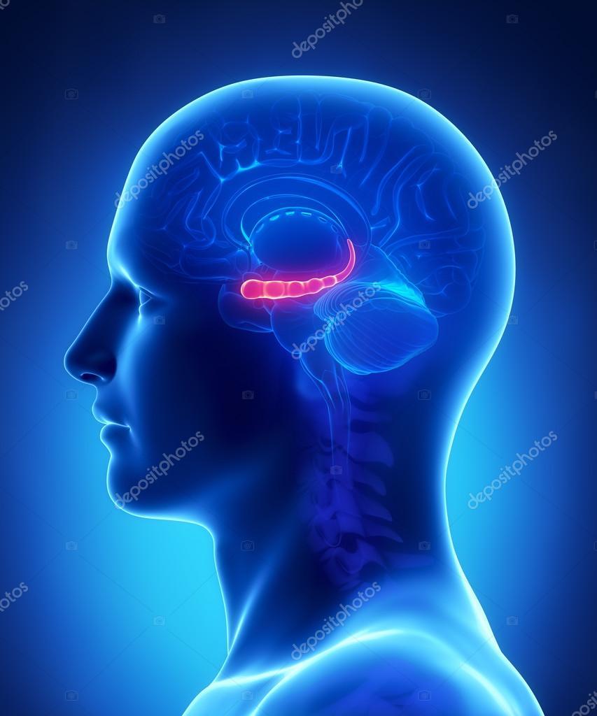 Anatomía del cerebro hyppocampus - sección transversal — Fotos de ...