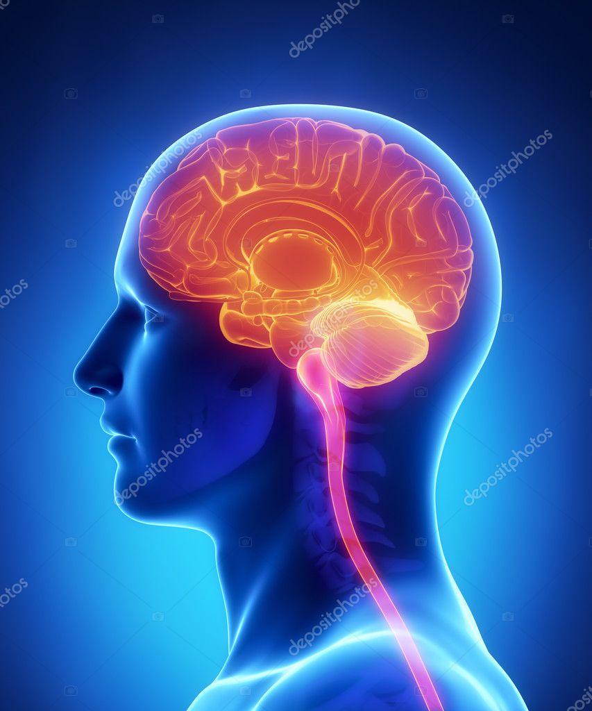 Gehirn Anatomie - Querschnitt — Stockfoto © CLIPAREA #13282419