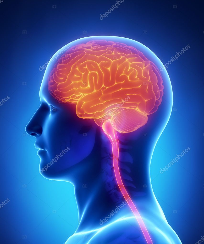 Brain and spinal cord anatomy - cross section — Stock Photo ...