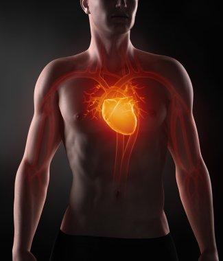 Man with circulatory system anatomy