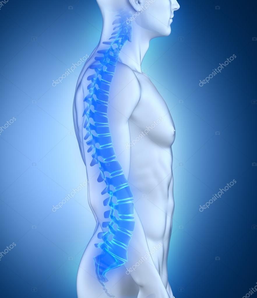 Male Spine Anatomy Lateral View Stock Photo Cliparea 23209088