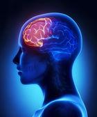 čelní lalok - ženský mozek anatomie boční pohled