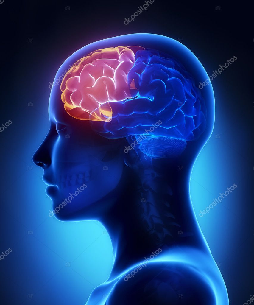 Frontal lobe - female brain anatomy lateral view — Stock Photo ...
