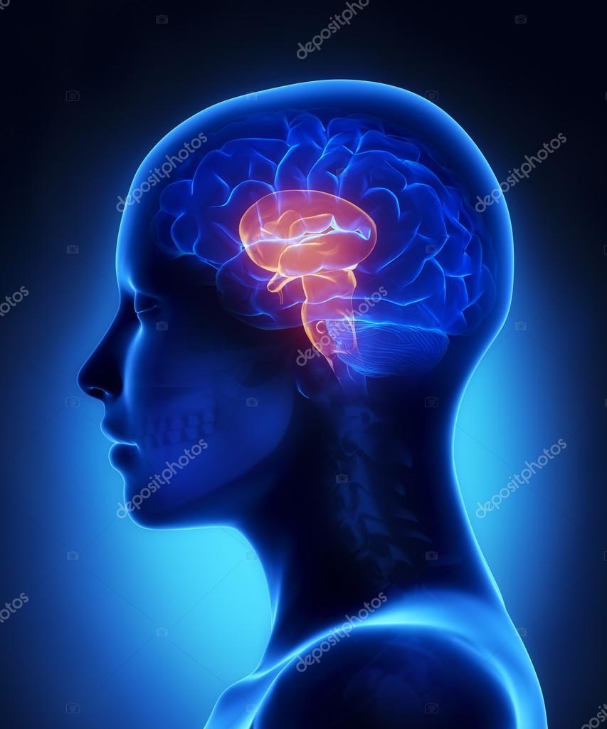 Hirnstamm - weibliche Gehirn Anatomie-Seitenansicht — Stockfoto ...