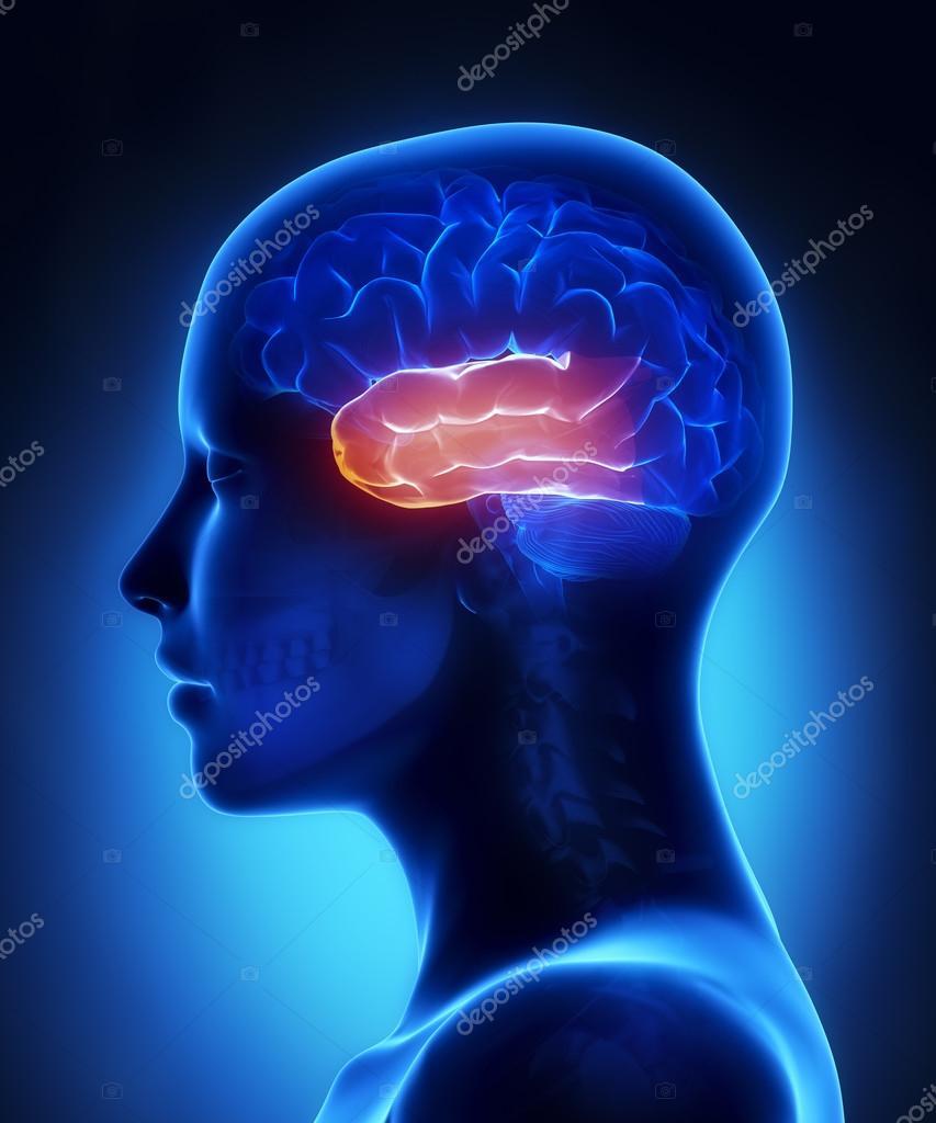 Schläfenlappen - weibliche Gehirn Anatomie-Seitenansicht — Stockfoto ...