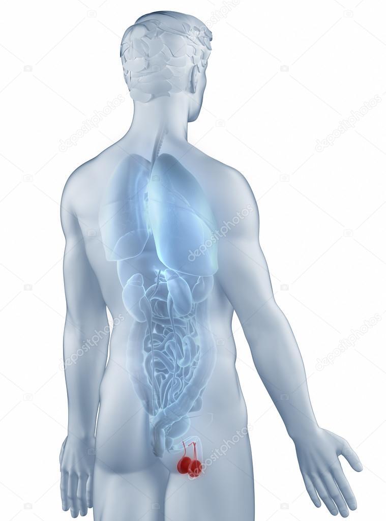 Genitalien Position Anatomie Mensch isoliert hintere Ansicht ...