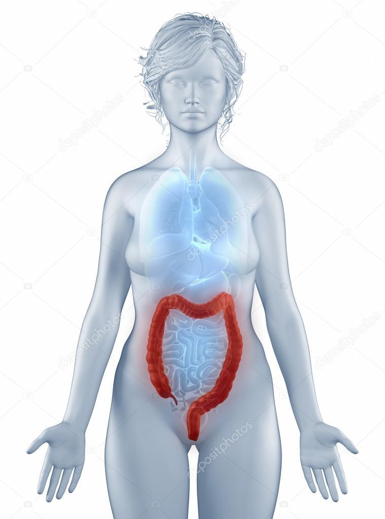 Doppelpunkt Position Anatomie Frau isoliert — Stockfoto © CLIPAREA ...