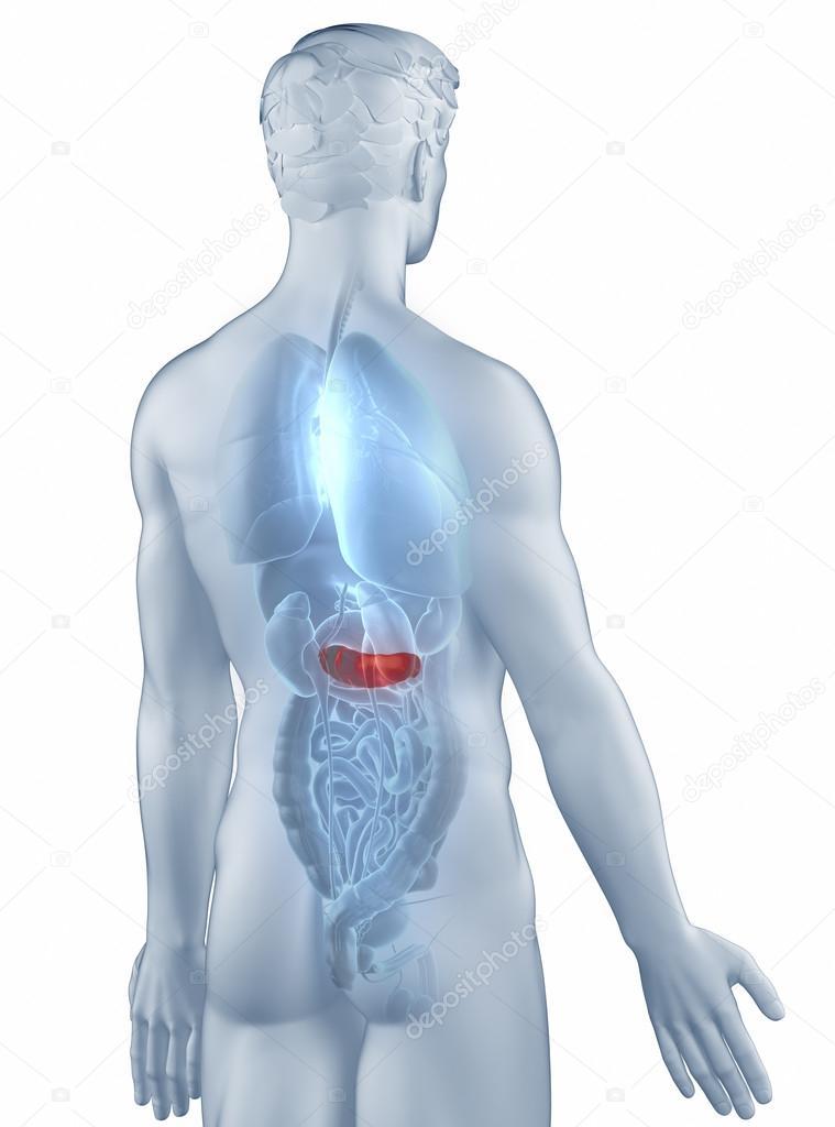Bauchspeicheldrüse Position Anatomie Mensch isoliert hintere Ansicht ...