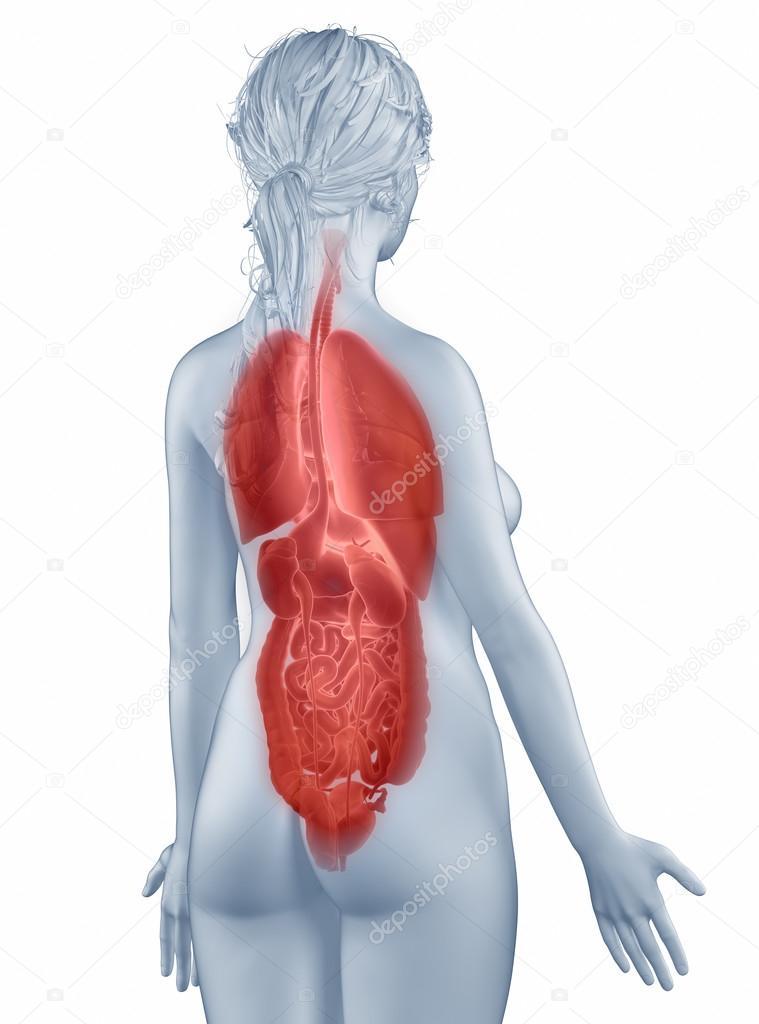 mujer de anatomía de posición de órganos aislados vista posterior ...