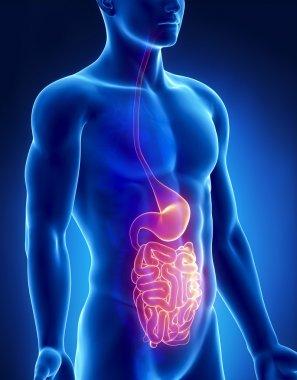 Stomach and intestine male anatomy anterior x-ray view