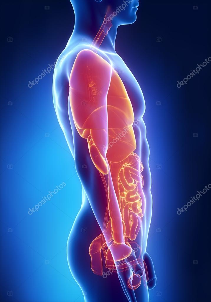 Man organs anatomy lateral x-ray view — Stock Photo © CLIPAREA #26539071