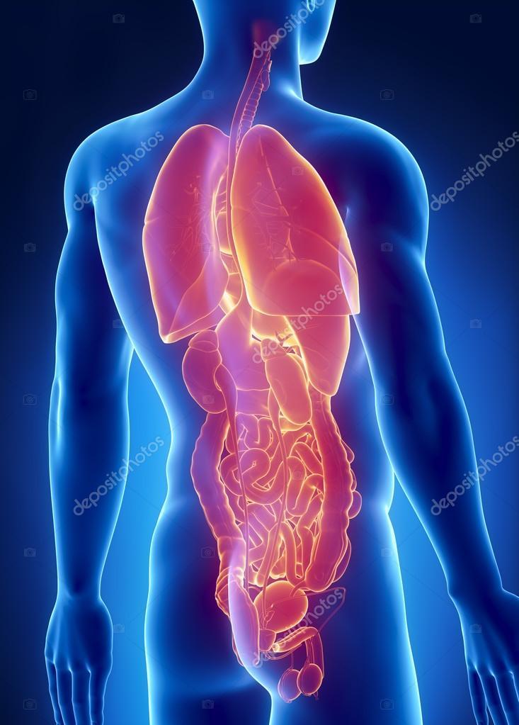 hombre órganos anatomía radiografía posterior vista — Foto de stock ...