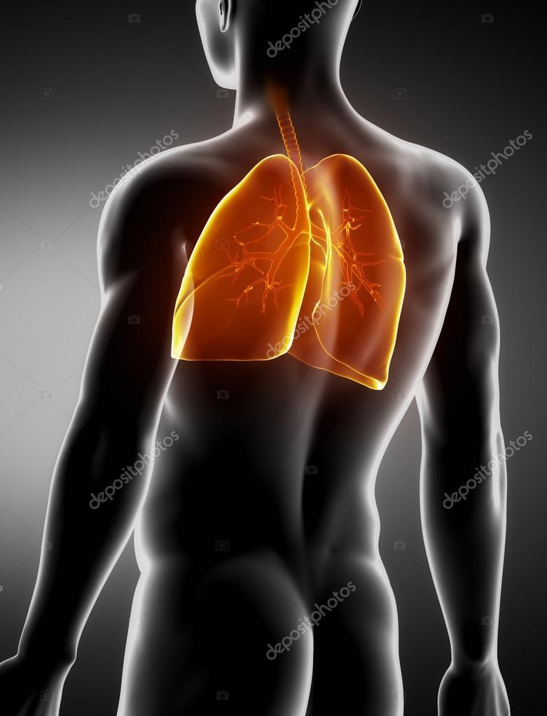 pulmones y tráquea anatomía masculina radiografía posterior vista ...