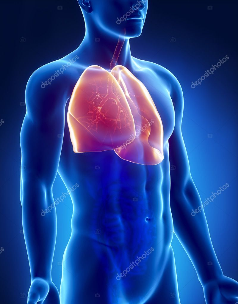 pulmones anatomía masculina radiografía anterior vista — Fotos de ...