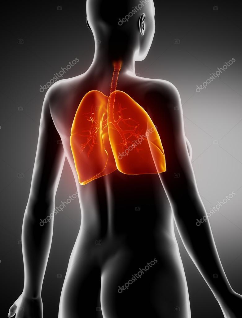 mujeres pulmones y bronquios anatomía vista posterior de la ...