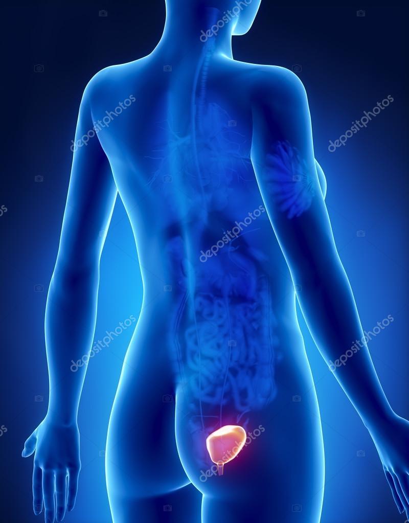weibliche Blase Anatomie Röntgen hintere Ansicht — Stockfoto ...