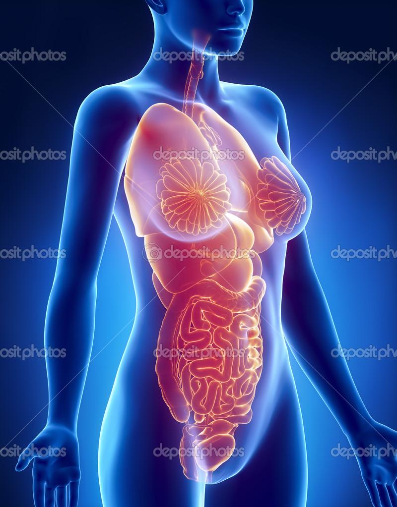 weibliche Organe Anatomie Röntgen Seitenansicht — Stockfoto ...