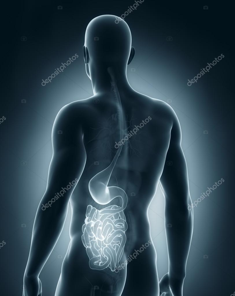 Male digestive system anatomy posterior view — Stock Photo ...