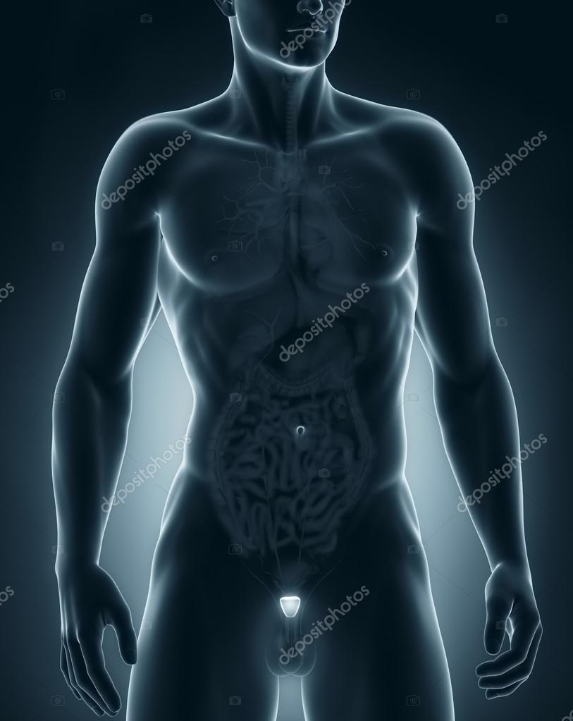 anatomia organizzazione umano maschio prostata addome