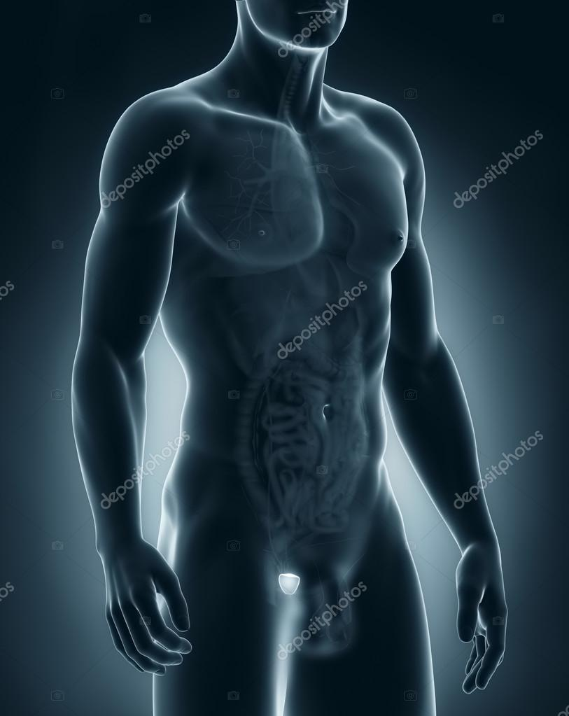 männlichen Prostata Anatomie — Stockfoto © CLIPAREA #30587951