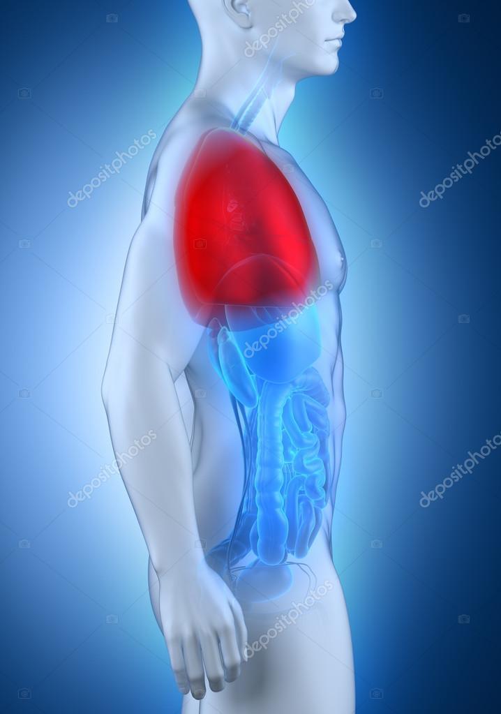 männliche Lunge Anatomie-Seitenansicht — Stockfoto © CLIPAREA #30588041