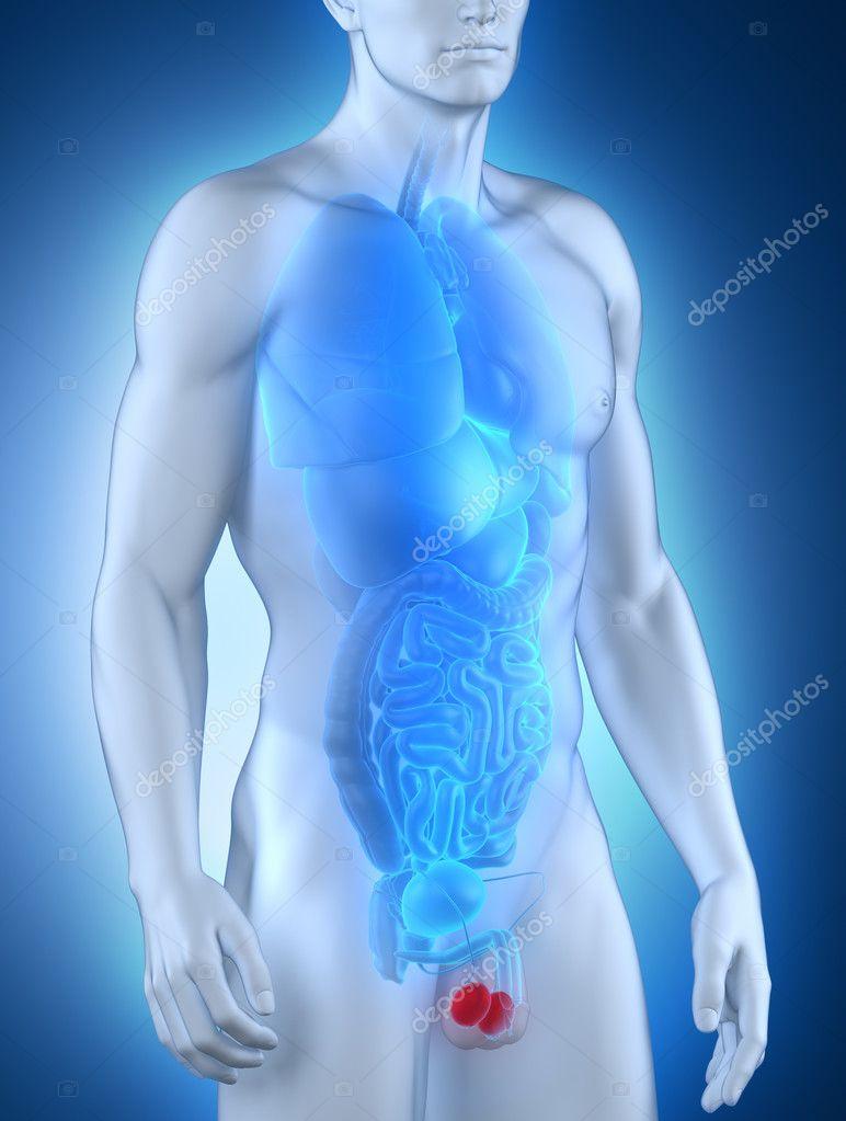männliche Hoden Anatomie Vordere Ansicht — Stockfoto © CLIPAREA ...