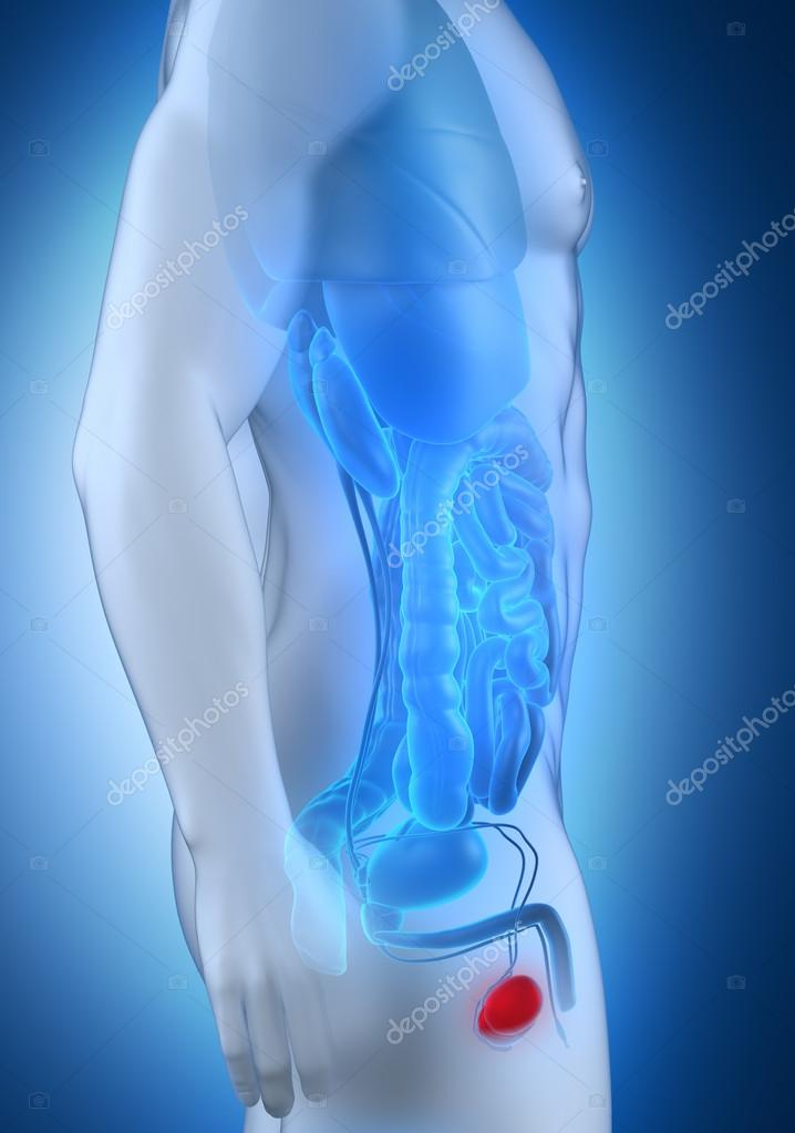 männliche Hoden Anatomie-Seitenansicht — Stockfoto © CLIPAREA #30588357