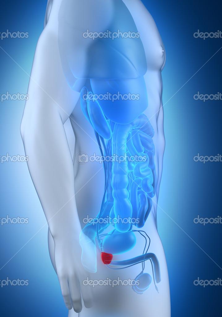 vista lateral de la anatomía masculina de próstata — Fotos de Stock ...