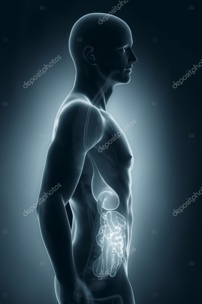 männliche Verdauungssystem Anatomie-Seitenansicht — Stockfoto ...