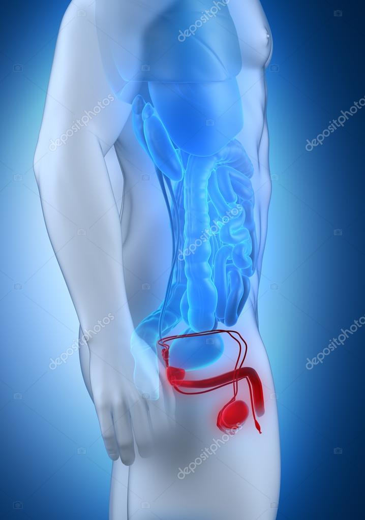 vista lateral de la anatomía de los genitales masculinos — Fotos de ...