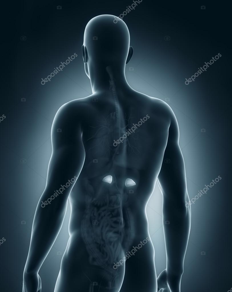 männlichen Nebennieren Anatomie hintere Ansicht — Stockfoto ...