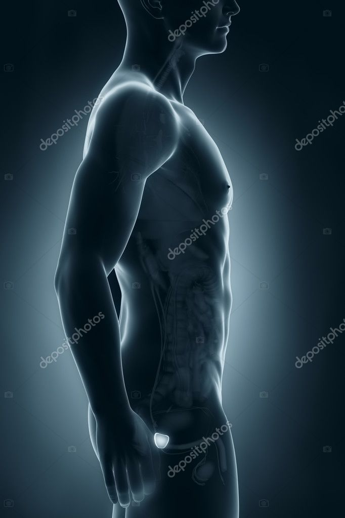 Male prostate anatomy lateral view — Stock Photo © CLIPAREA #30588471