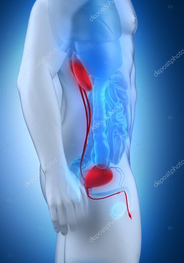 vista lateral de la anatomía de sistema urinario masculino — Fotos ...