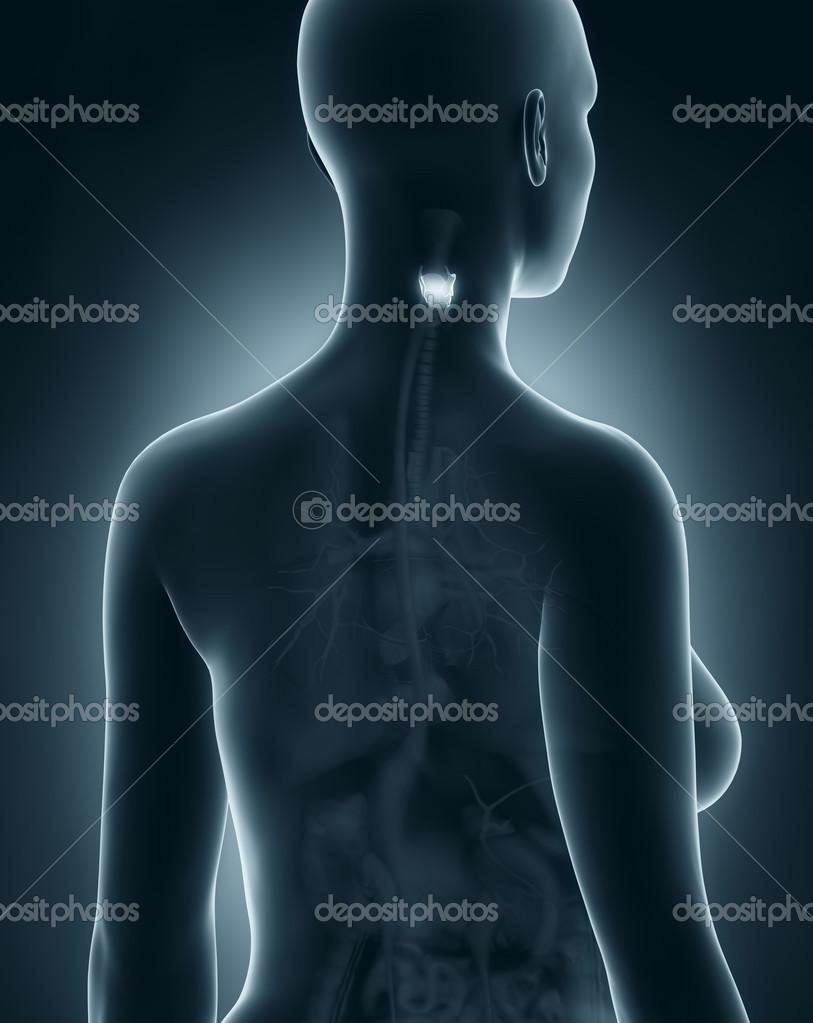 Anatomía laringe mujer — Foto de stock © CLIPAREA #33811251