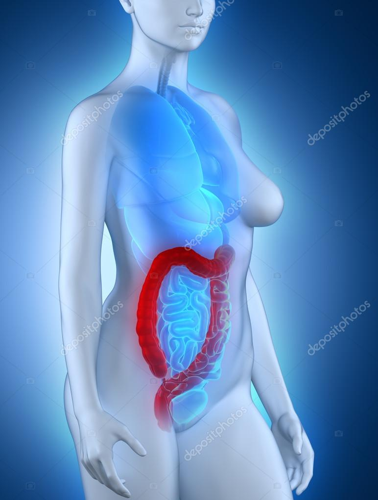 Anatomia del colon donna — Foto Stock © CLIPAREA #33811253