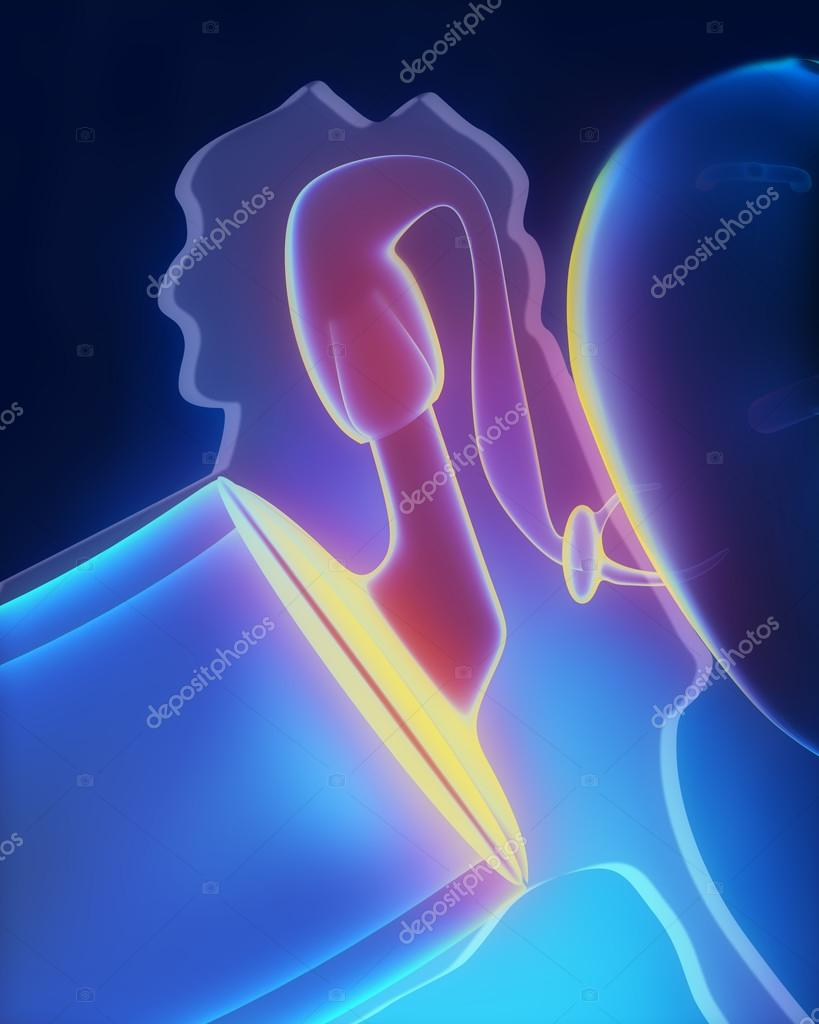 Middle ear anatomy — Stock Photo © CLIPAREA #37763071